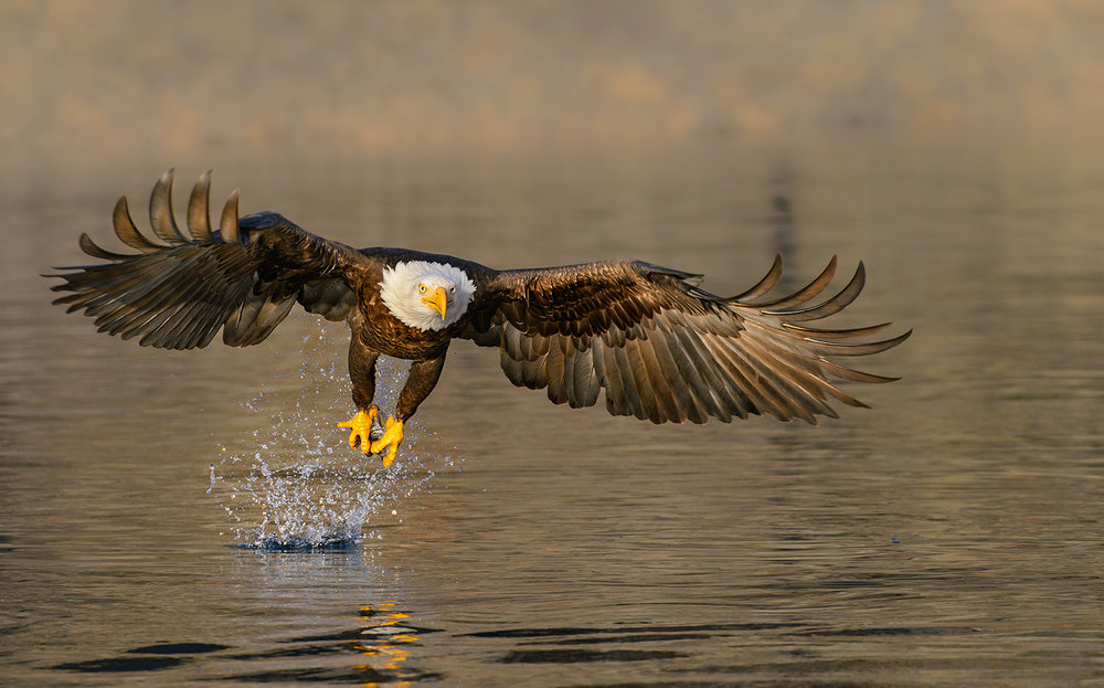 Eagle-head-on-golden-water-Robert-OToole-Photography