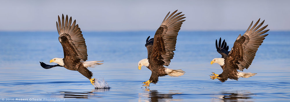 Eagle-Strike-sequence-Robert-OToole-Photography