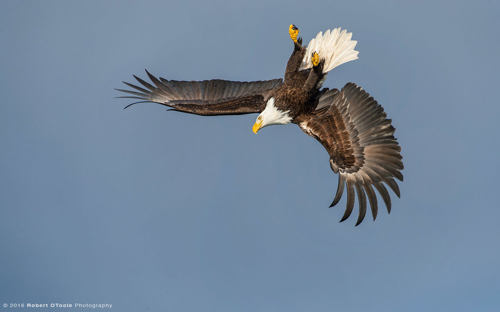 Inverted Bald Eagle in Alaska