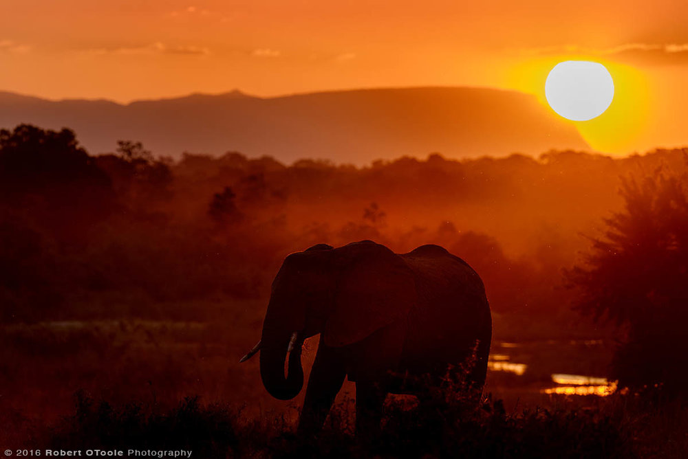 African Elephant and Last Light of the Day