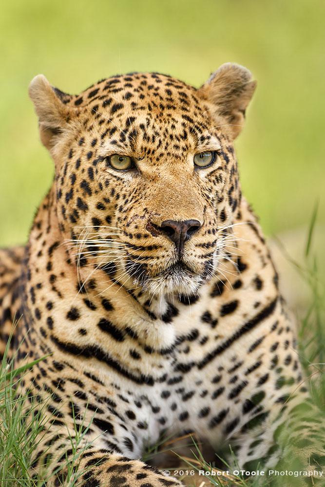 African Leopard Boss