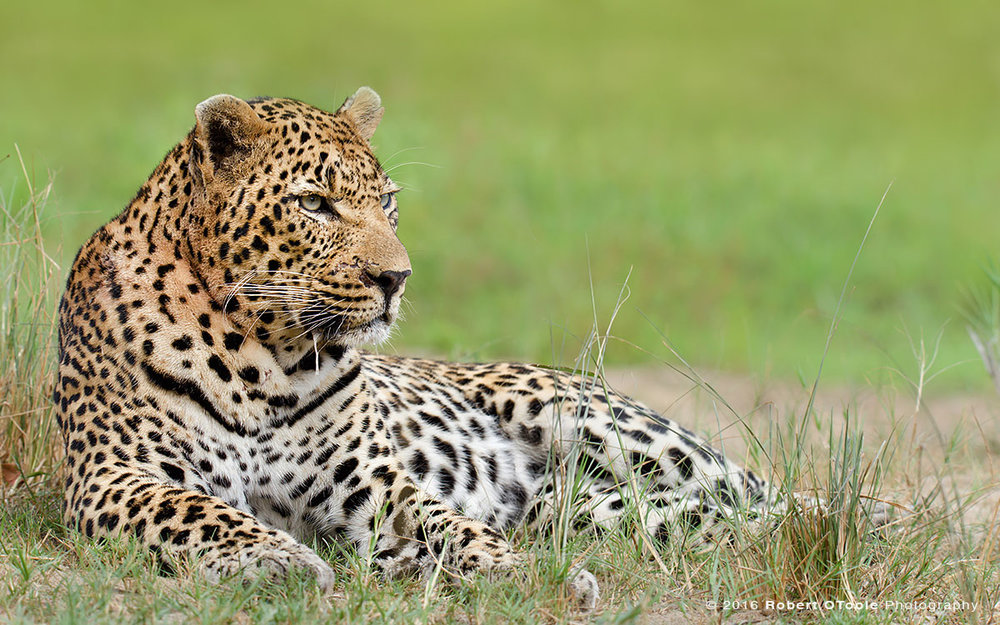 Leopard-boss-relaxing-in-the-grass-Sabi-Sands-South-Africa-Robert-OToole-Photography