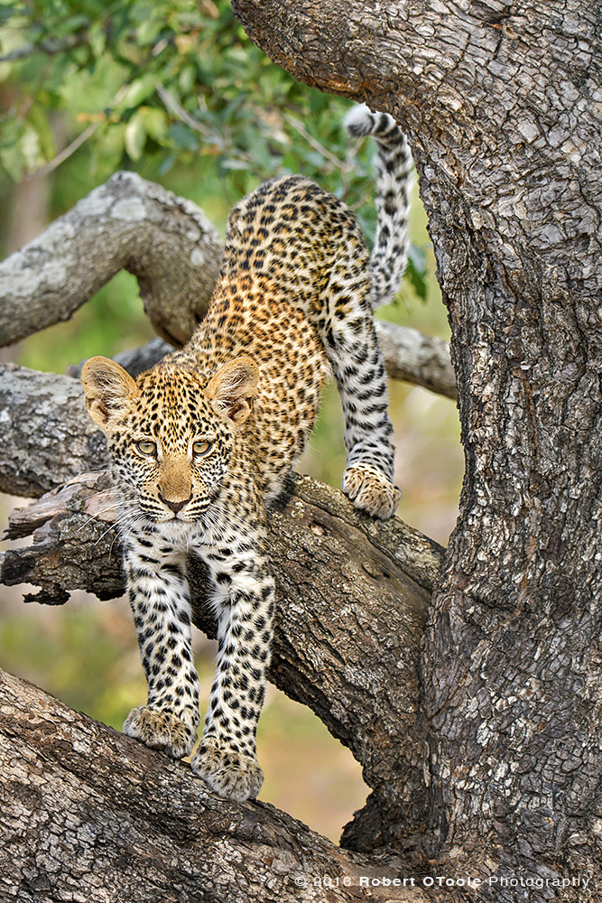 Leopard-Cub-on-the-prowl-Sabi-Sands-South-Africa-Robert-OToole-Photography