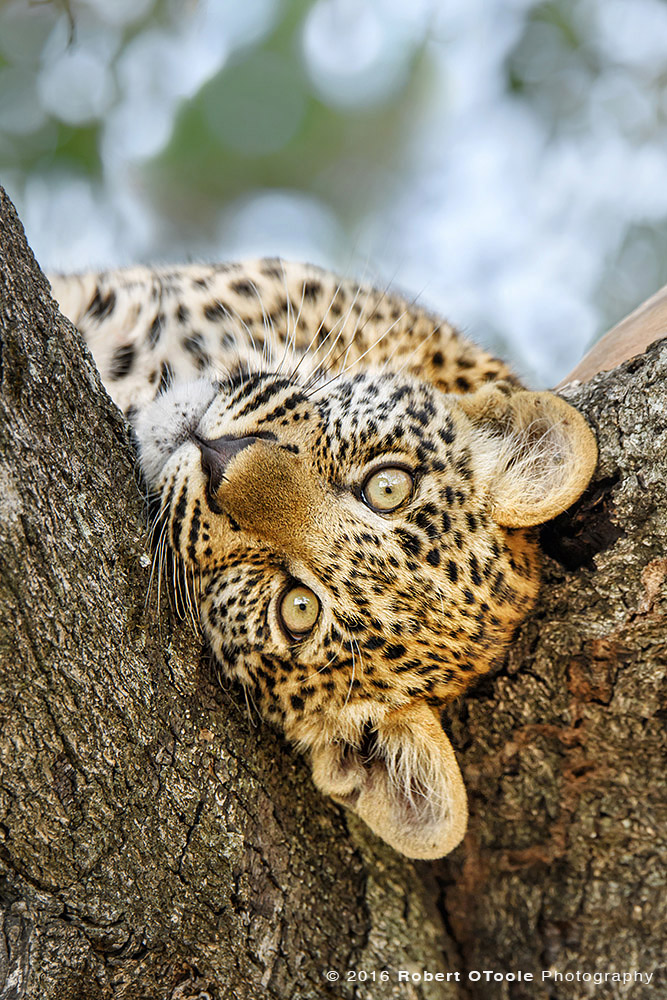 Leopard Cub Upside Down in South Africa