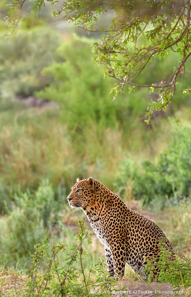 African Leopard on the River Bank