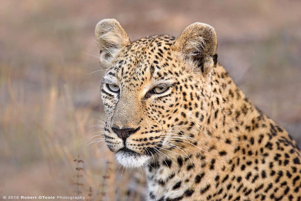 African Leopard Portrait