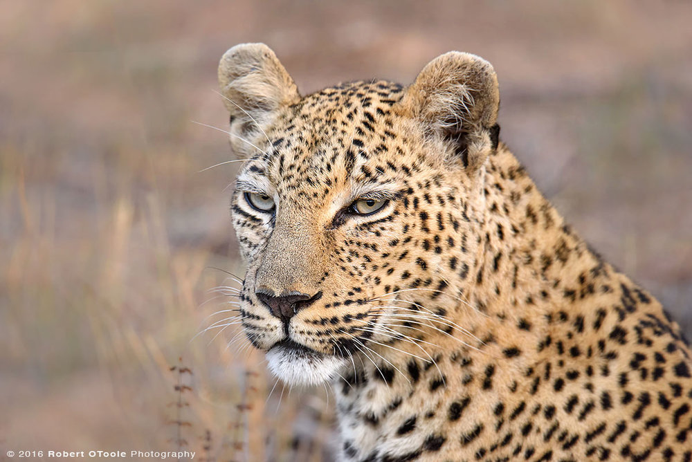 Leopard-portrait-Sabi-Sands-South-Africa-Robert-OToole-Photography