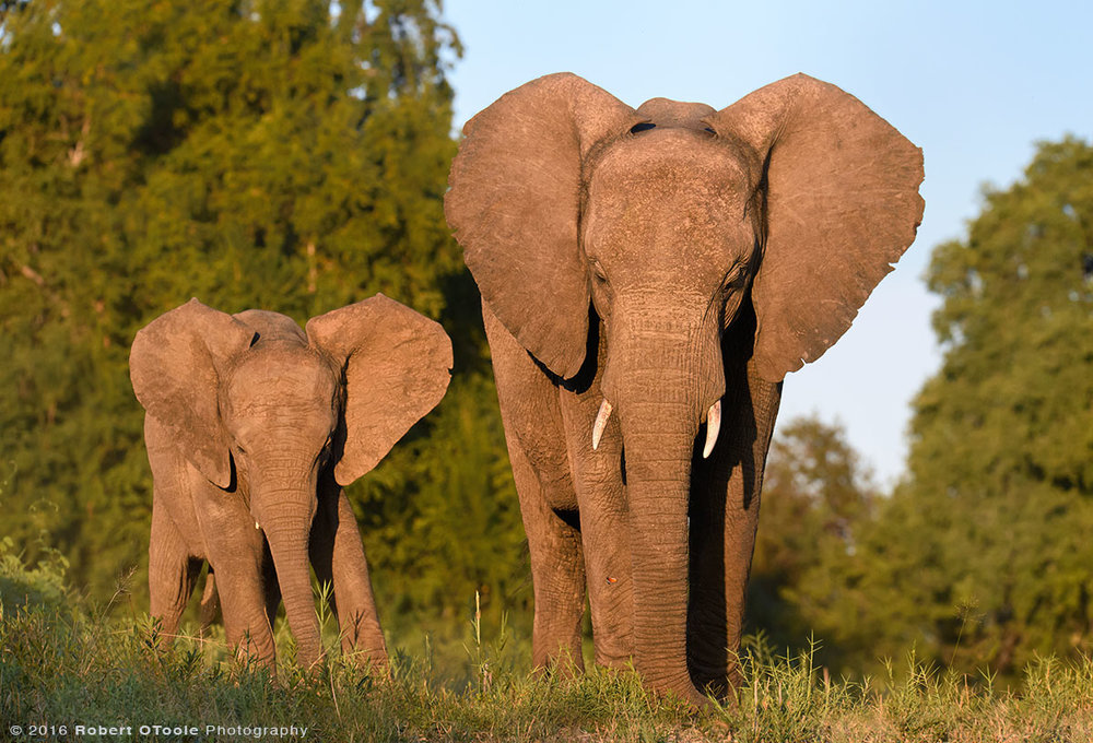 African Elephants Family in Morning Light