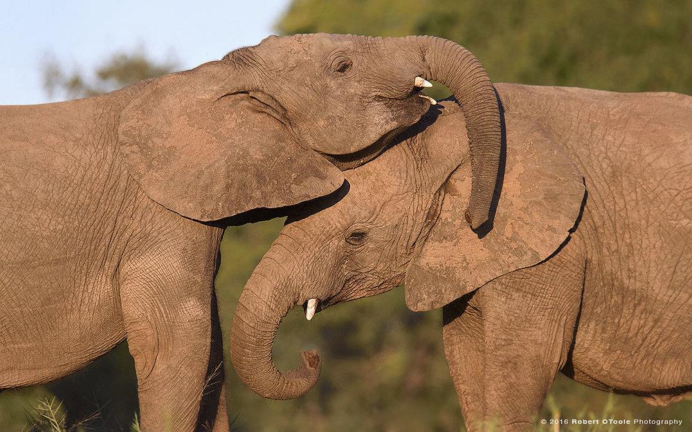 Young African Elephants Playing with Trunks
