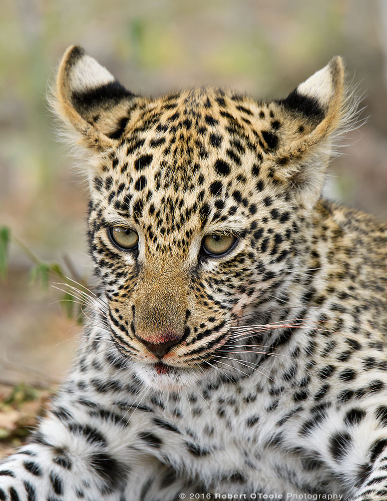 Young African Leopard with Open Ears