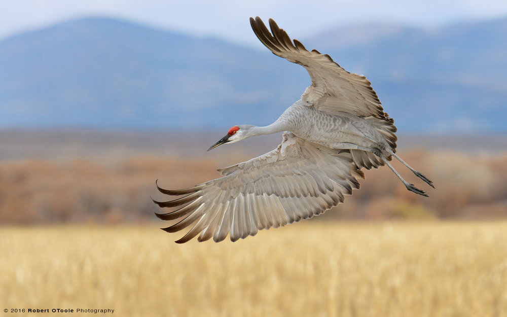 Sandhill Crane Banking against the Mountains