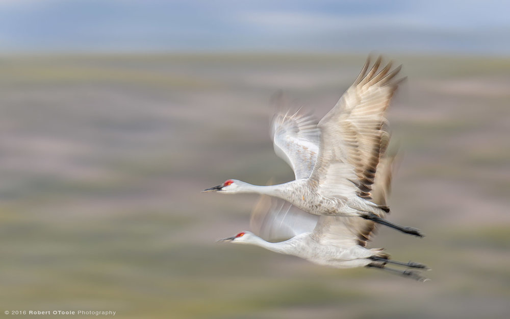 sandhill-crane-pair-speed-blur-Robert-OToole-Photography