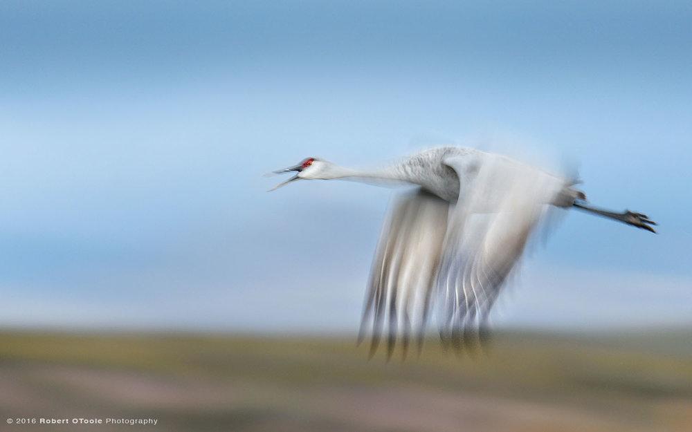 sandhill-crane-calling-one-20th-second-shutter-speed-blur-robert-otoole-photography