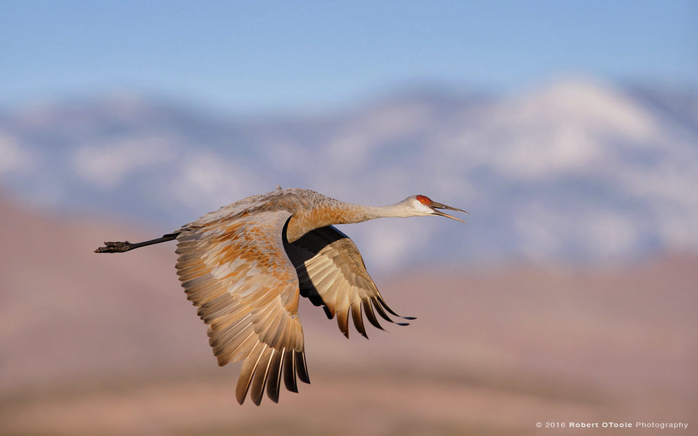 sandhill—crane-and-snow-capped-mountains-Robert-OToole-Photography