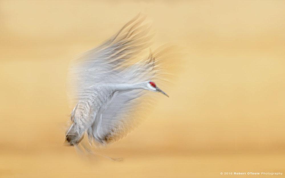 sandhill-crane-landing-one-20th-second-shutter-speed-blur-robert-otoole-photography