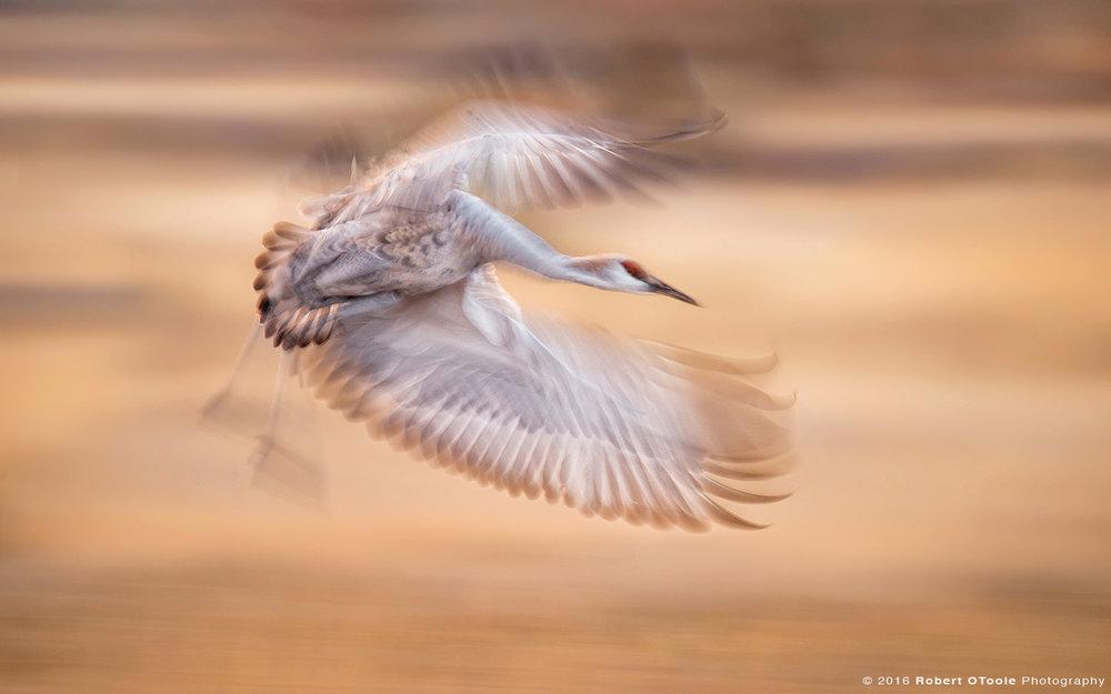 sandhill-crane-banking-speed-blur-Robert-OToole-Photography