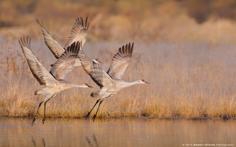 Family of Sandhill Cranes Taking off from Water