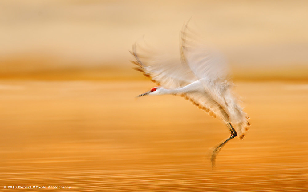 sandhill-crane-landing-one-20th-second-shutter-speed-blur-with-flash-robert-otoole-photography