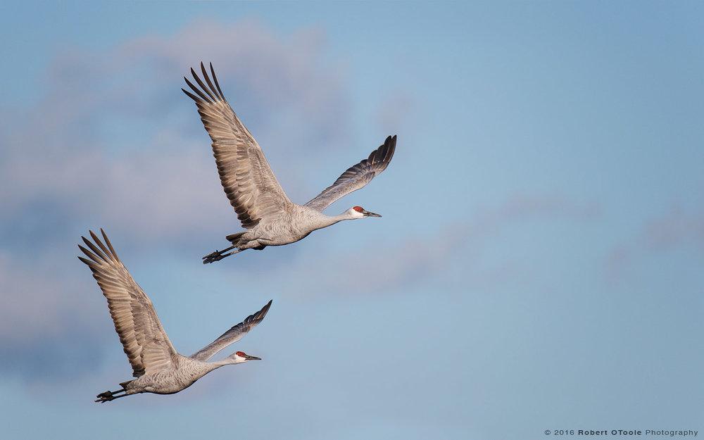 sandhill-crane-pair-synchronised-flight-Robert-OToole-Photography