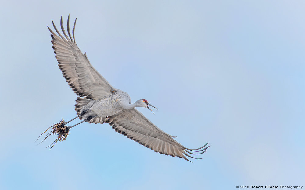 Sandhill Crane Flying with Mud Boots