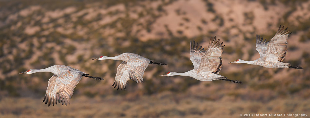 Group of Four Flying Sandhill Cranes