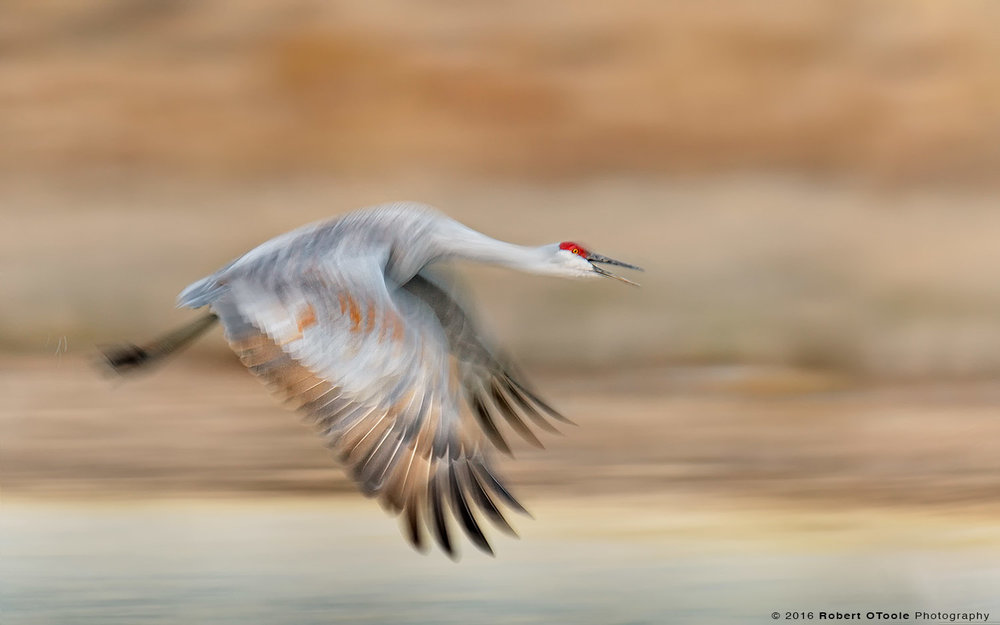 Sandhill Crane Flying in the Morning  at 1/40th s