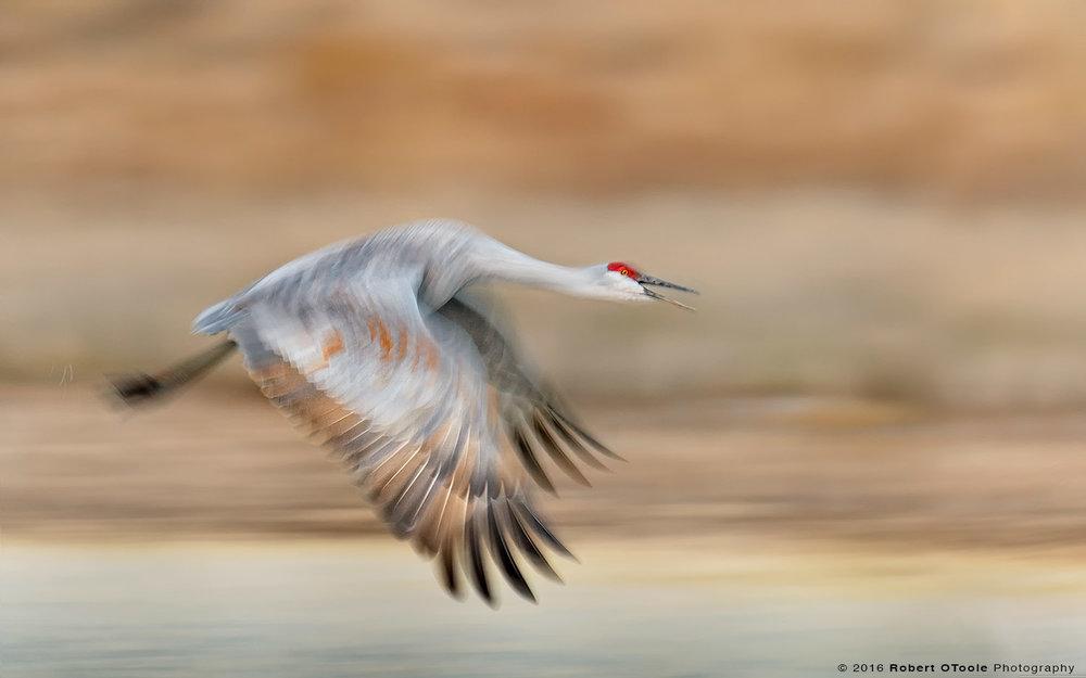 sandhill-crane-morning-blur-Robert-OToole-Photography