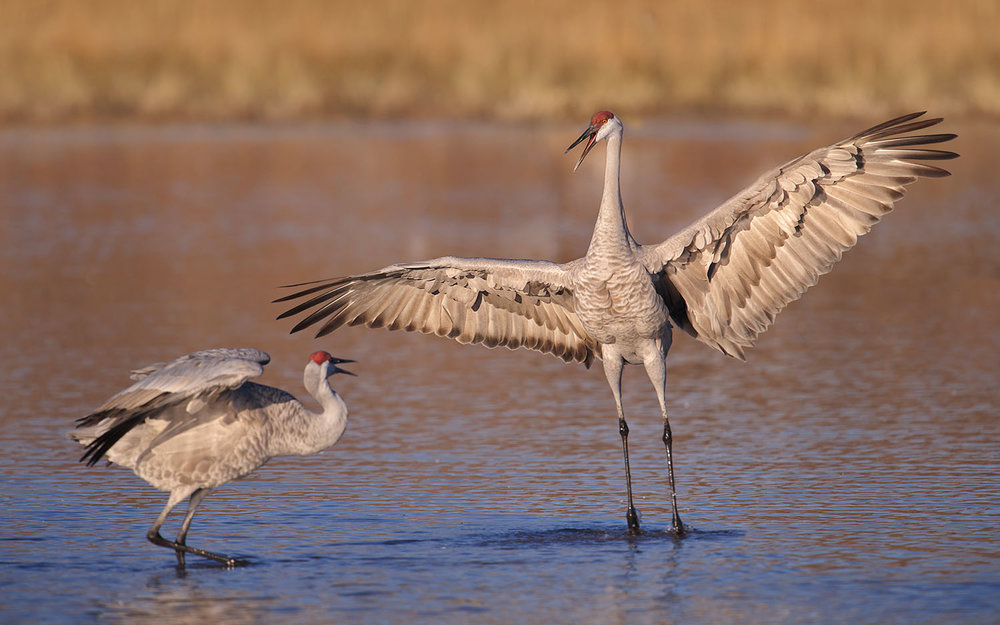 Sandhill Cranes Displaying on Water