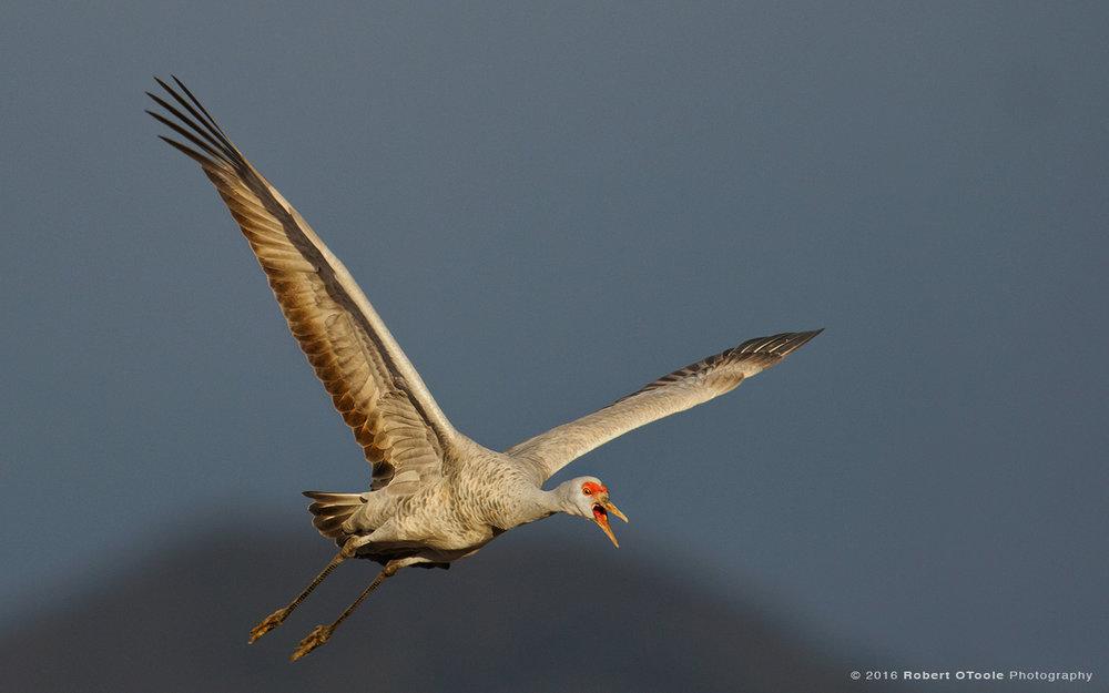 juvenile-sandhill-crane-Robert-OToole-Photography