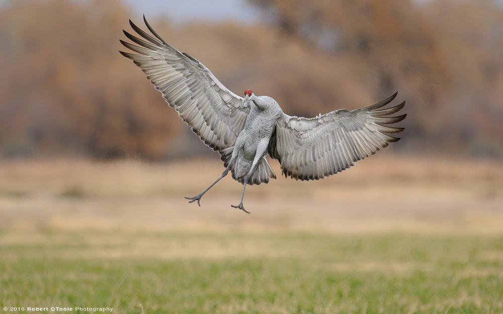 sandhill-crane-landing-Robert-OToole-Photography