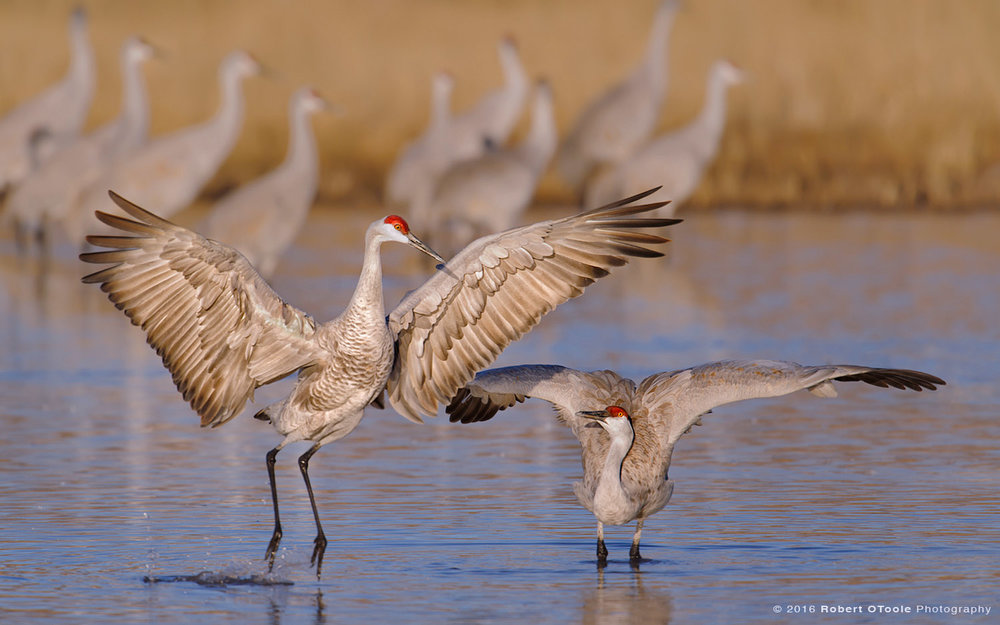 Pair of Sandhill Cranes Displaying on Water