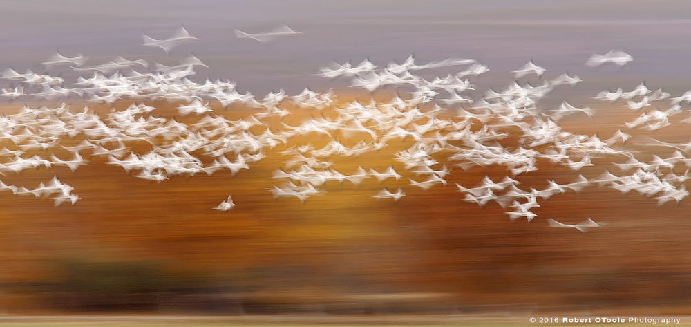 Snow Geese at 1/4th s