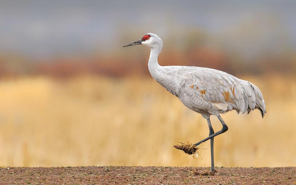 sandhill-crane-with-muddy-feet-Robert-OToole-Photography