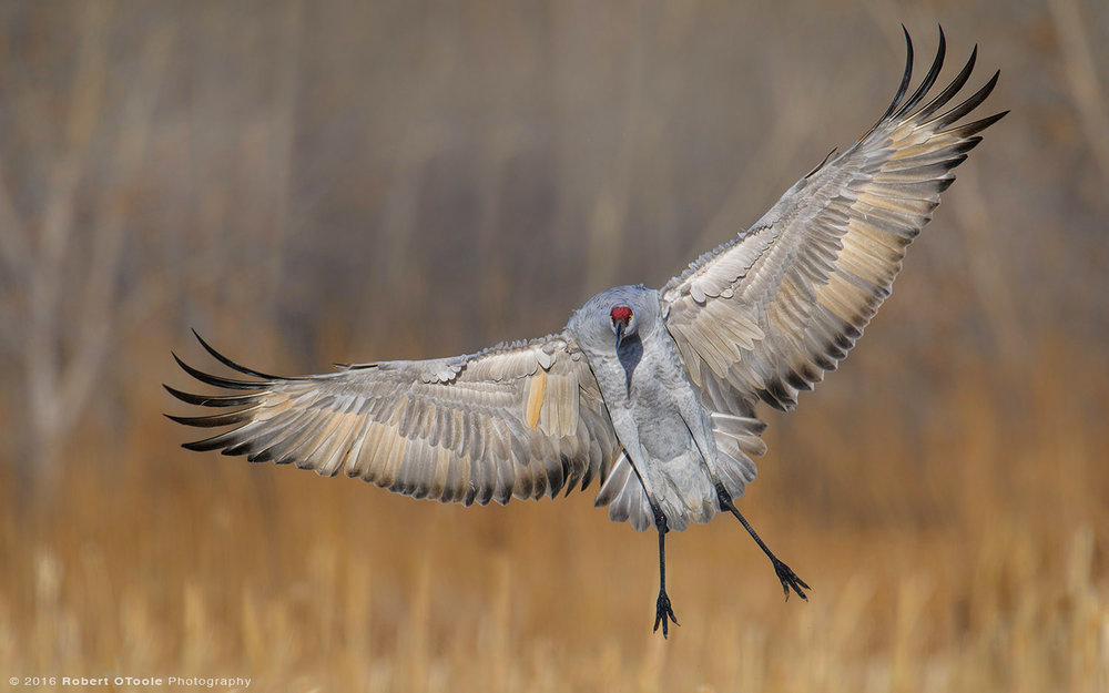 sandhill-crane-landing-straight-at-the-camera-Robert-OToole-Photography