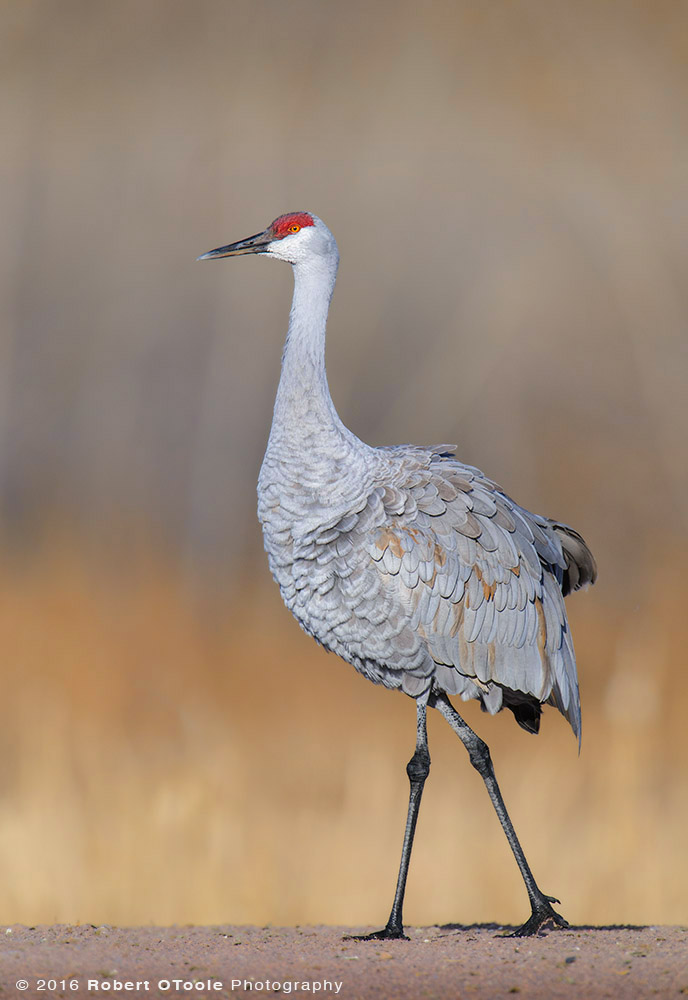 sandhill-crane-with-fluffed-feathers-walking-Robert-OToole-Photography