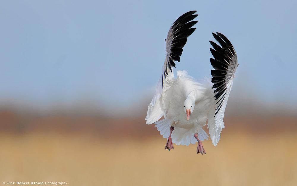 snow-goose-landing-Robert-OToole-Photography