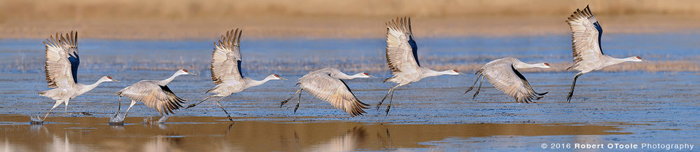 Sandhill Crane Taking off Sequence