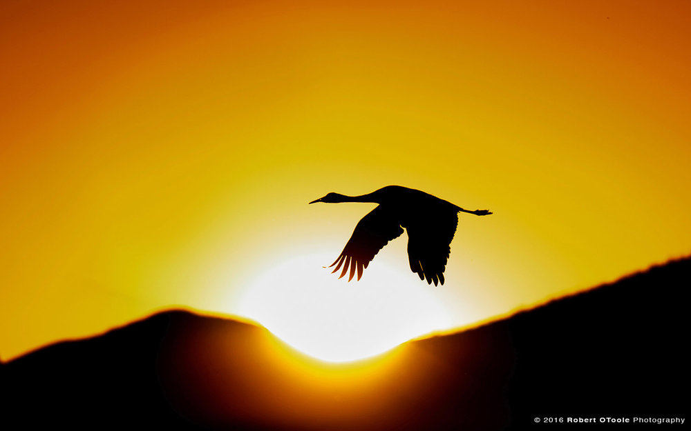 Sandhill Crane Flying Through Sun Disk at Sunset