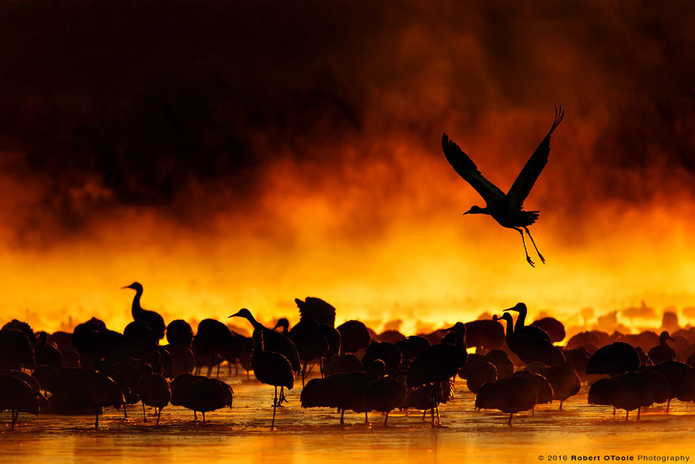 Sandhill Cranes and Fire in the  Mist