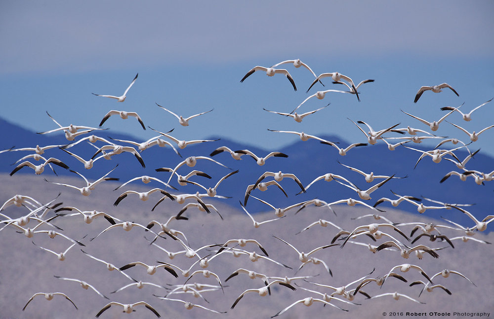Snow Geese and Mountains