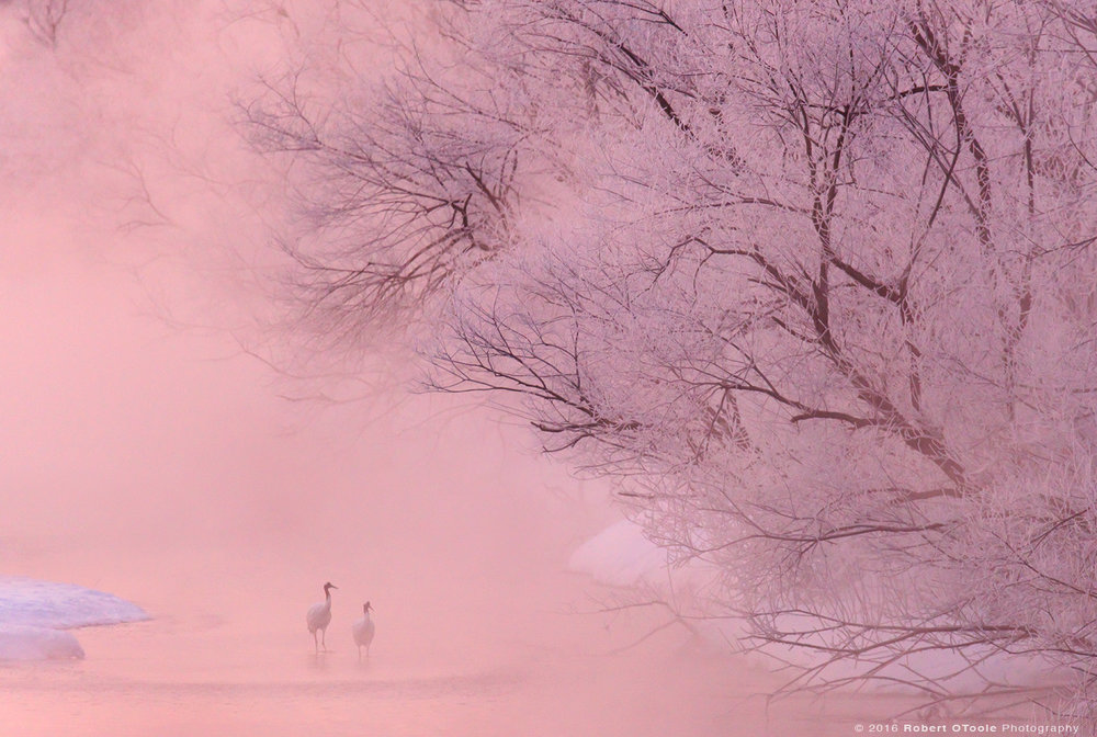 Red Crowned Cranes and Powder Pink Sunrise with Frost