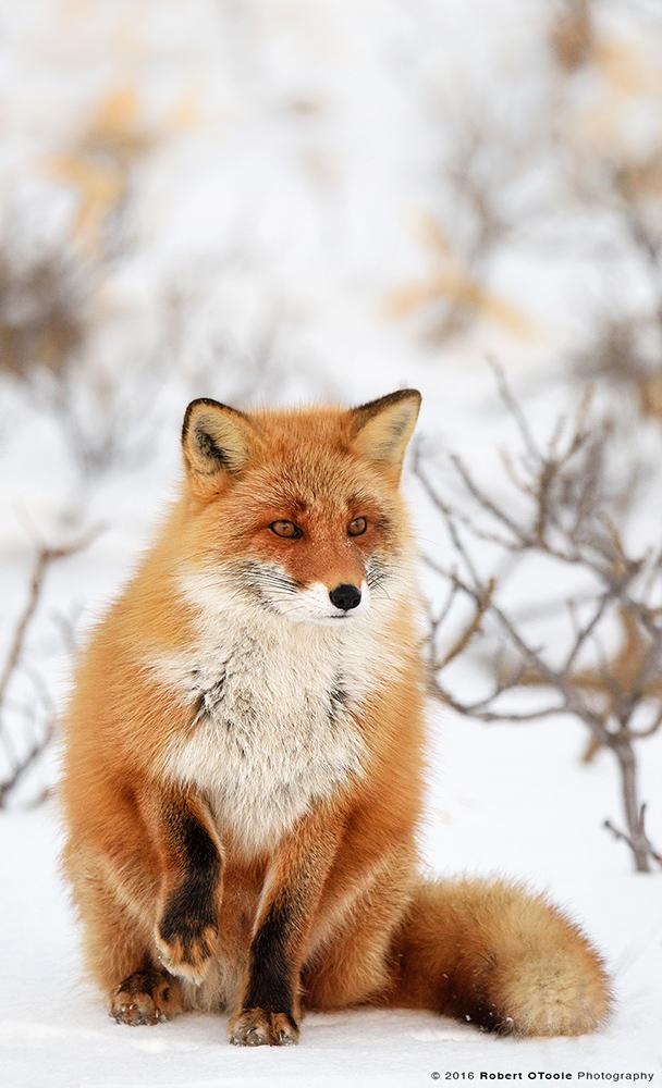 Hokkaido-fox-Robert-OToole-Photography