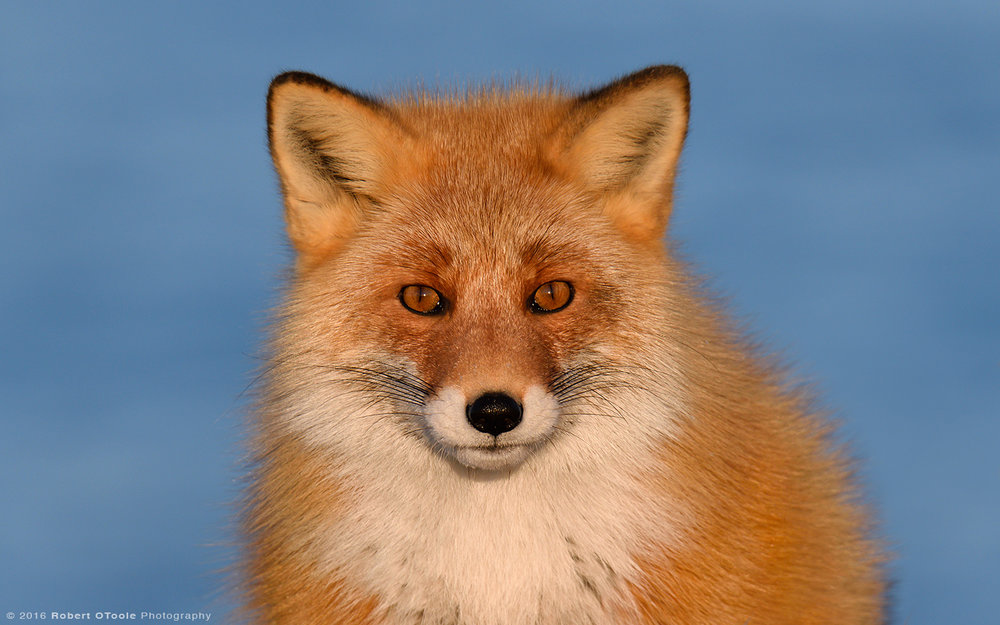 Red Fox Blue Water  Beach Portrait
