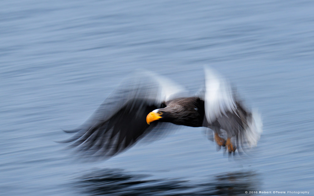 Steller's Sea Eagle Landing on water at 1/30th S