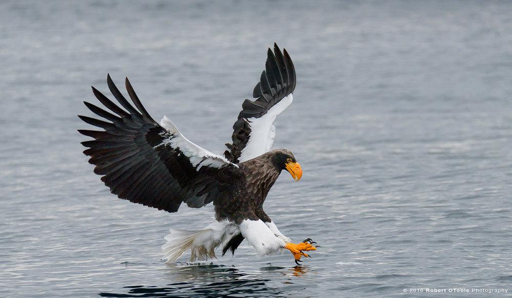 Steller's Sea Eagle in Hokkaido Japan