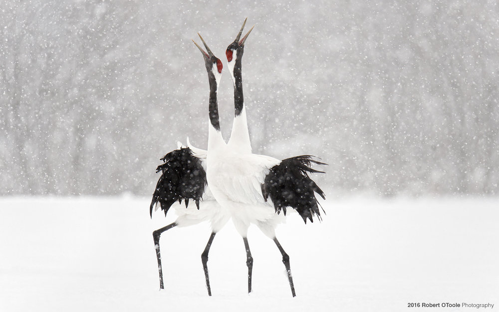 Pair of  Red -Crowned Cranes Displaying in Snowstorm