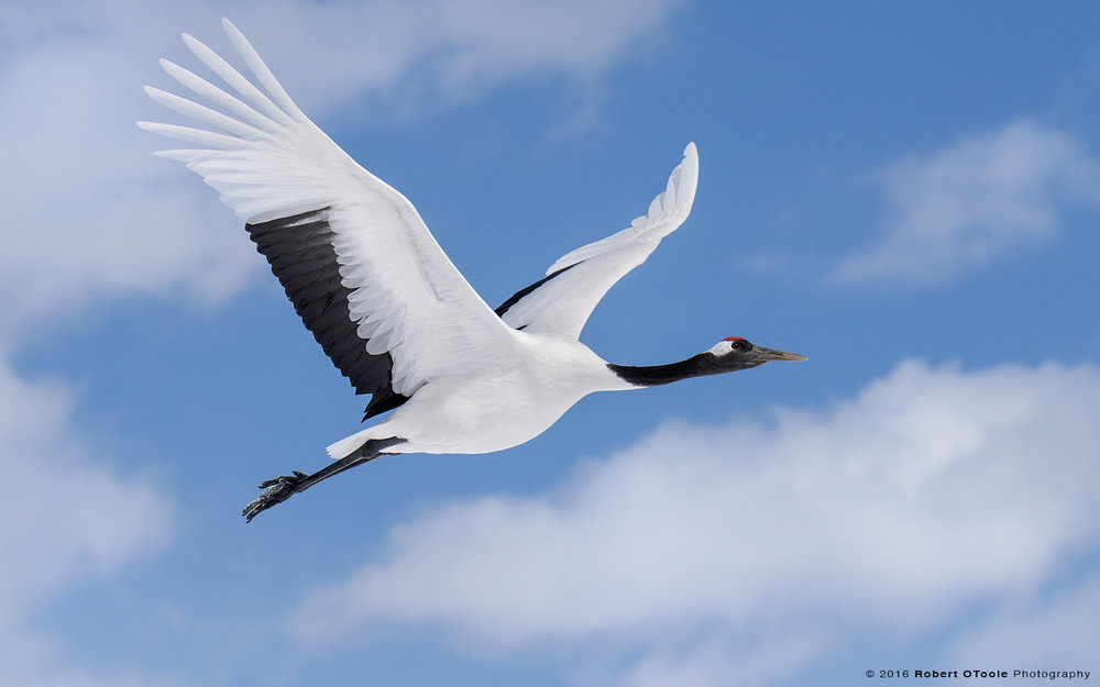 Red-Crowned Crane Gliding in blue Sky