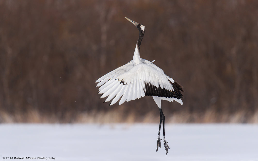 Single  Red Crowned Crane Dancing