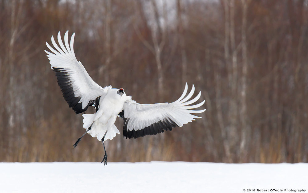 Red-Crowned Crane Landing