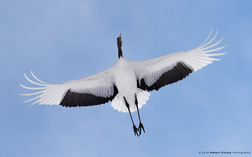 Red-Crowned Crane Flying Overhead